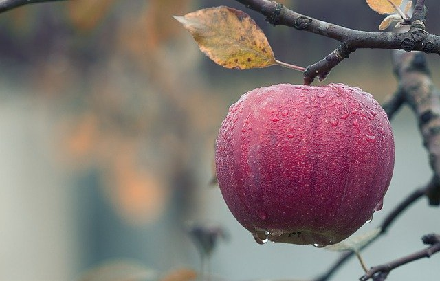 An apple hanging from a branch